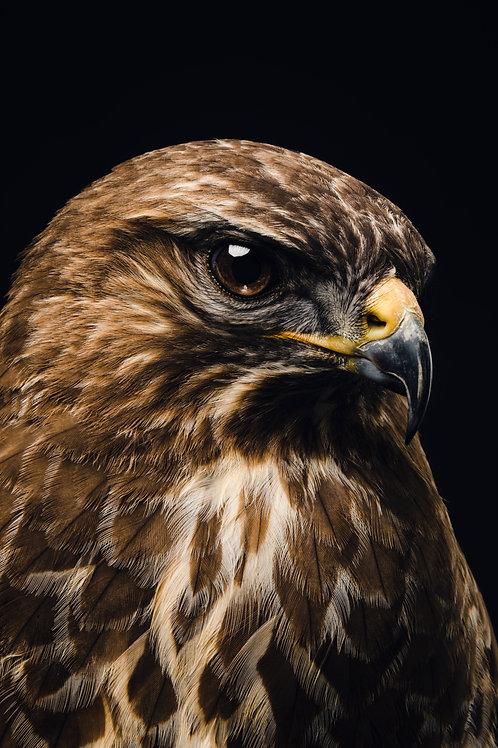 Pet Photography of birds of prey, Common Buzzard, Fine art print