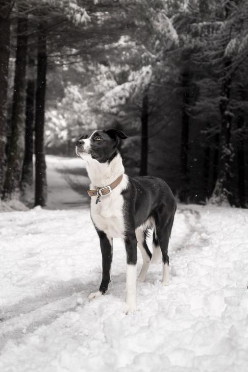 Border Collie Whinlatter Snow