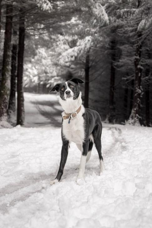 Border Collie Winlatter Snow