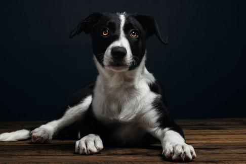 Puppy Welsh Border Collie
