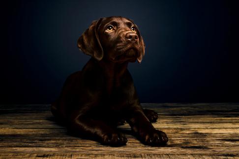 Puppy Chocolate Labrador