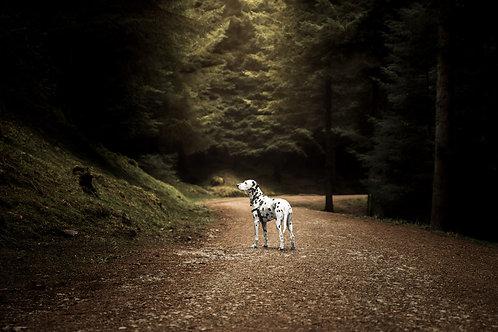 Pet Photography In The Lake District Cumbria, Dalmatian, Woodlands, Fine Art Print