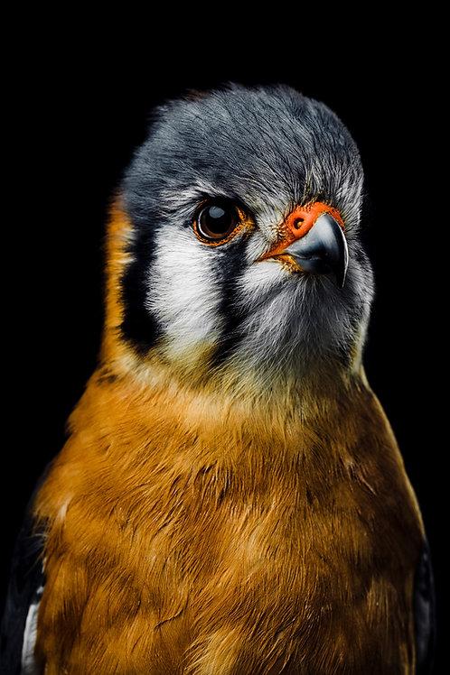 Pet Photography of birds of prey,American Kestrel , Fine art print
