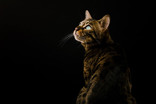 Pet Photography In The Studio Of A Bengal Cat, Fine Art Print