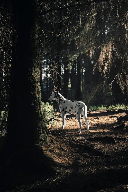 Pet Photography In The Lake District, Cumbria, Dalmatain, Woodlands, Fine Art Print