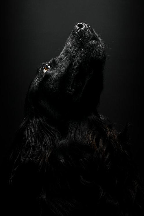 Pet Photography In The Studio Of A Cocker Spaniel, Fine Art Print