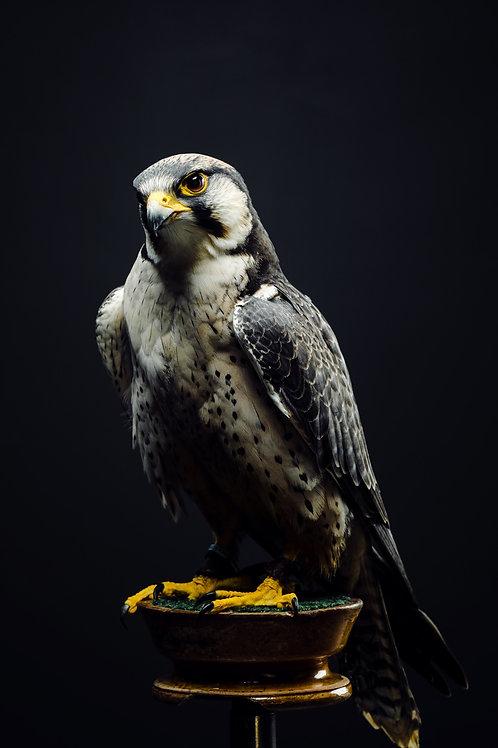 Pet Photography of birds of prey, Lanner Falcon, Fine art print