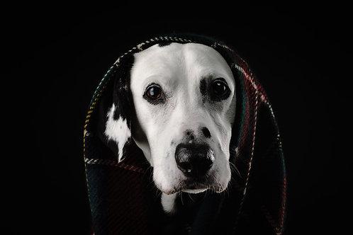 Pet Photography In The Studio Of A Dalmatian, Fine Art Print