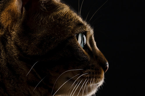 Pet Photography In The Studio Of A Bengal Cat, Marble Eyes, Fine Art Print