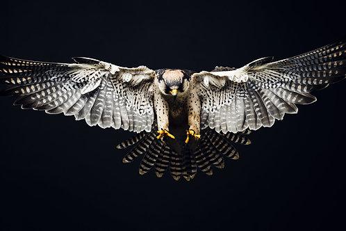 Pet Photography of birds of prey, Lanner Falcon in flight, Fine art print