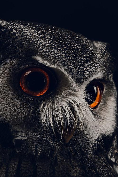 Pet Photography of birds of prey, Scops Owl, Fine art print