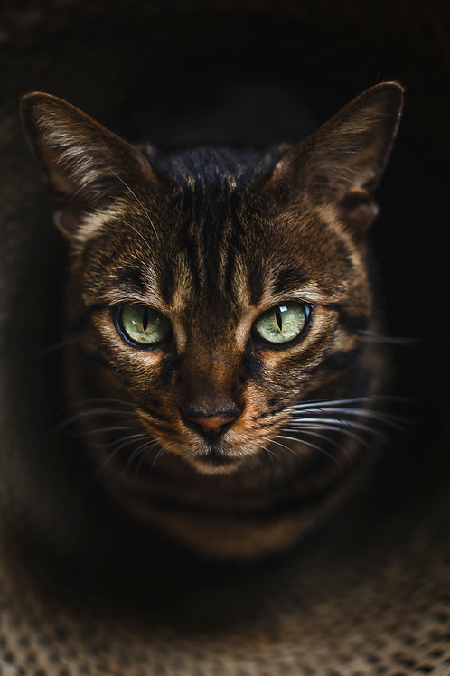 Pet Photography Of A Bengal Cat In A Basket, Fine Art Print