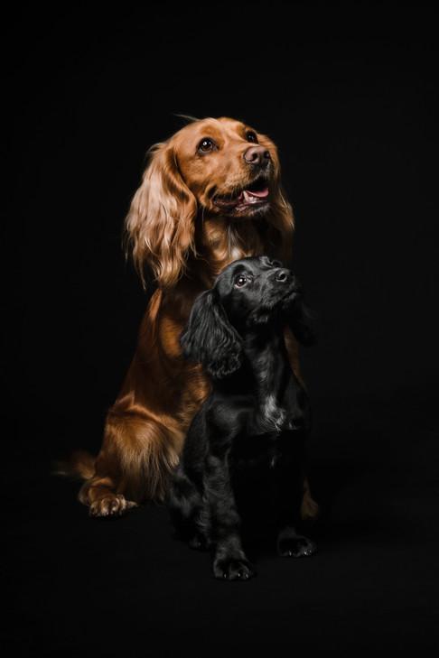 Golden and Black Cocker Spaniels