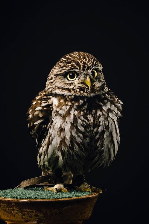 Pet Photography of birds of prey, Little Owl, Fluffy owl, Fine art print