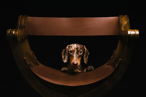 Pet Photography In the Studio Of A Dachshund, Fine Art Print