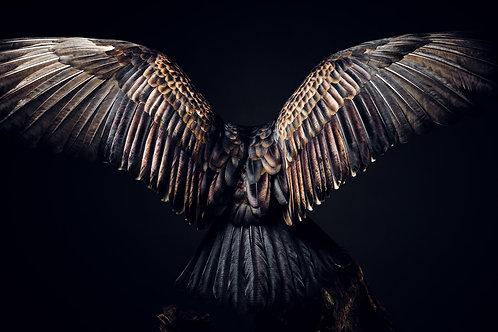 Pet Photography of birds of prey, Turkey Vulture, Angel, Fine art print