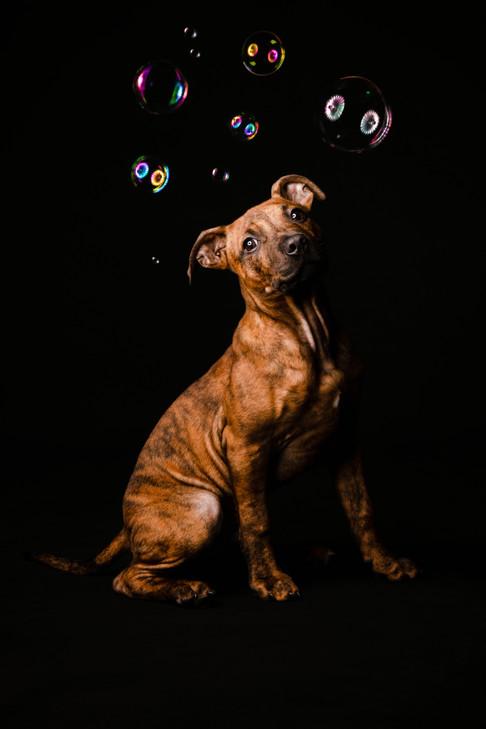 Staffy Mix Puppy