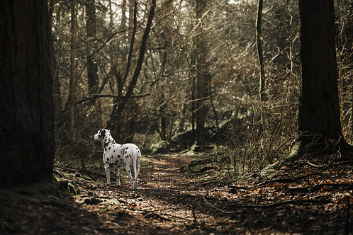 Pet Photography In The Lake District, Cumbria, Dalmatian, Fine Art Print