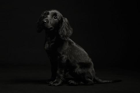 Black puppy Cocker Spaniel