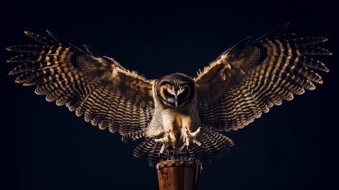 Brown Wood Owl in Flight