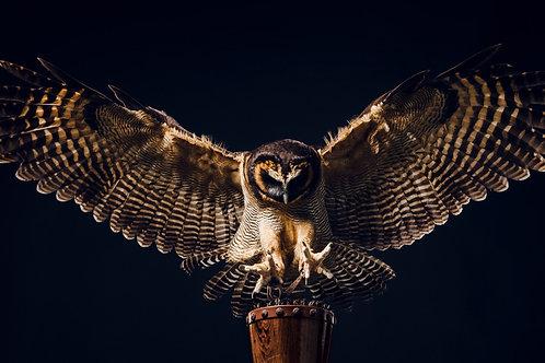 Pet Photography of birds of prey, Wood Owl in flight, Fine art print