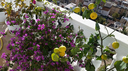 Maintenance serive , lemon tree