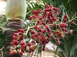 Seeds from a NZ Nikau Palm Tree
