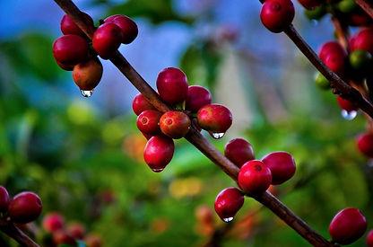 Costa Rica Hacienda Sonora Coffee 20.jpg