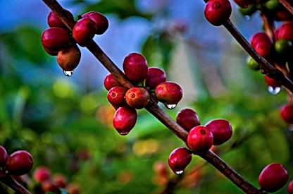 Costa Rica Hacienda Sonora Coffee 20.jpg