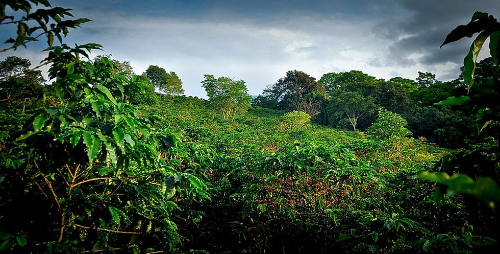 Costa Rica Hacienda Sonora Coffee 18.jpg