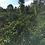 Thumbnail: Kenya Mwiboini Estate Peaberry - Per Kg