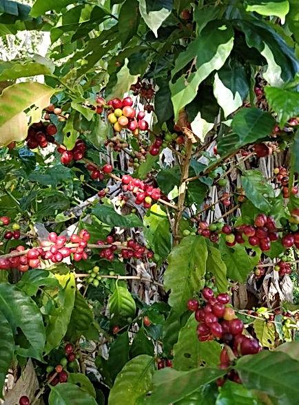 Jamaica Blue Mountain Coffee Cherries.JP