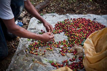 Costa Rica Hacienda Sonora Coffee 9.jpg