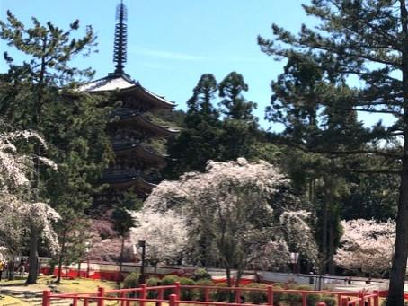 55 다이고(醍醐)의 벚꽃