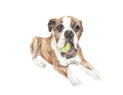 boxer w tennis ball