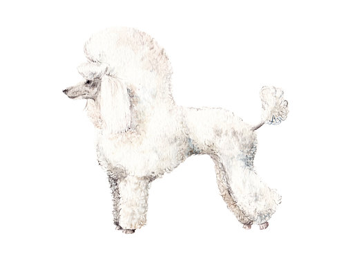 Poodle - choose from 4 images- Ltd Ed Print Watercolor