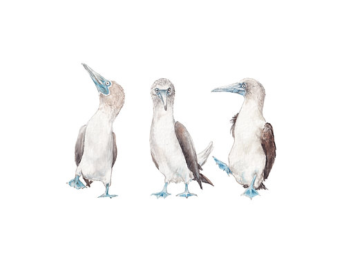 Blue Footed Boobies Limited Edition Print 8.5x11 Watercolor bird baby painting