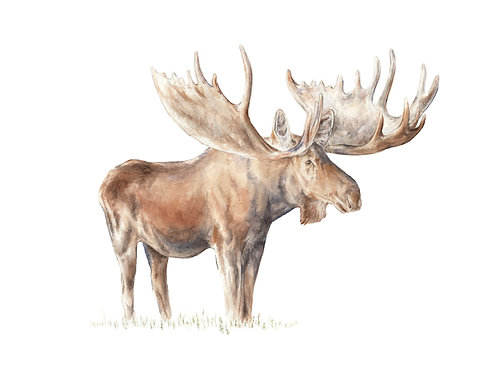 Moose Nature Animal Watercolor Limited Edition Print 8.5x11