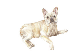 frenchie lying down