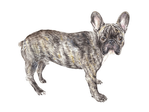 Brindle Frenchie Choose from 2 Ltd Ed Print Watercolor