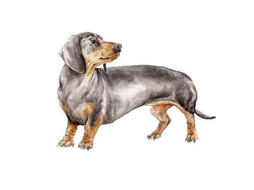 Doxie Smooth Coat Black and Tan Dachshund Ltd Ed Print Wate