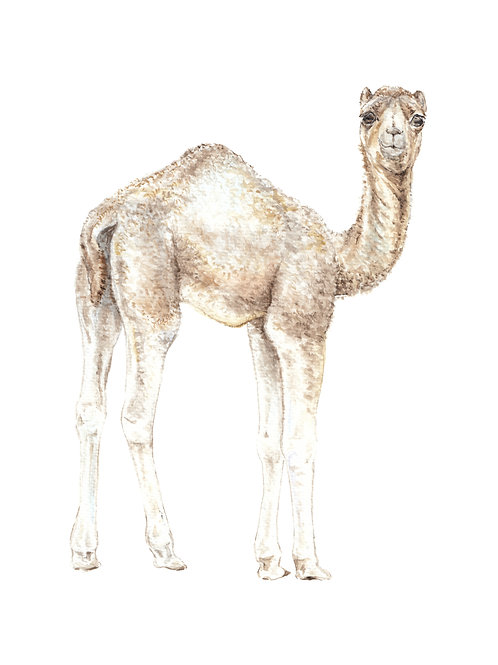 Baby Dromedary Camel India Ltd Edition Print 8.5x11 Watercolor