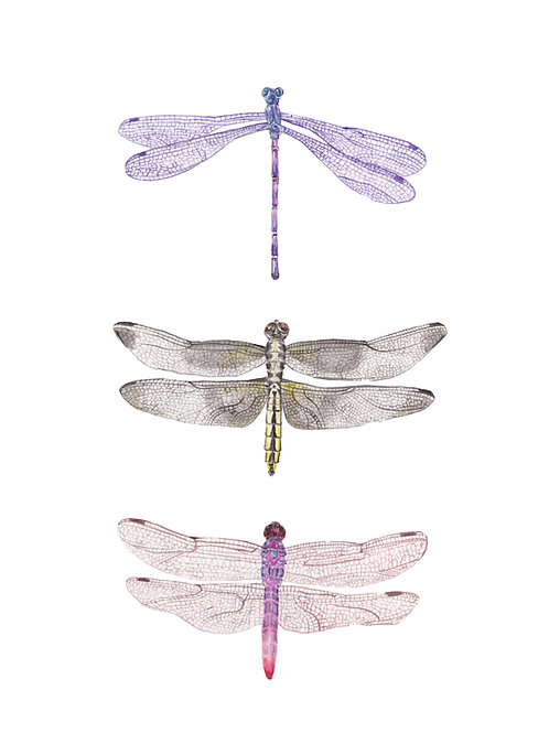 Dragonflies Watercolors: Limited edition print