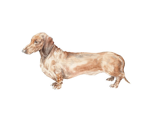 Doxie Smooth Coat Brown Dachshund Ltd Ed Print Wate