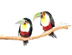 toucans_edited8.5x11.jpg