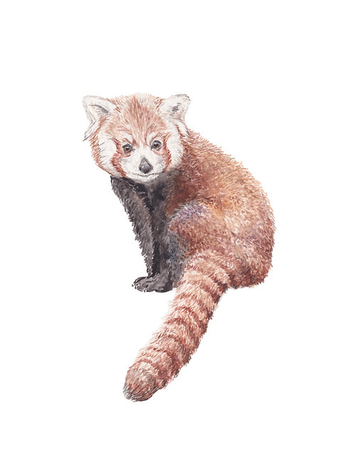 Red Panda Limited Edition Print 8.5x11 Watercolor