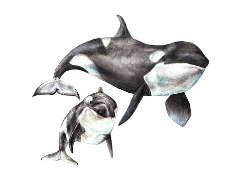Orca Mama and Baby Whale Ltd Edition Print 8.5x11 Watercolor