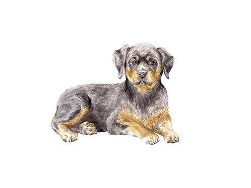 Rottweiler Ltd Ed Print Watercolor