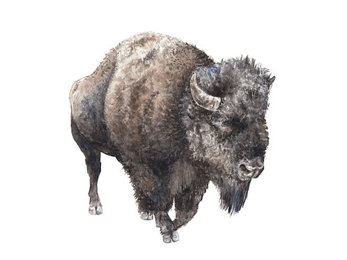 Buffalo Bison Limited Edition Print 8.5x11 Watercolor