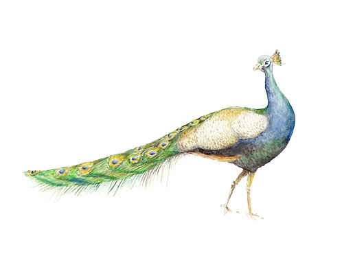 Peacock Limited Edition Print 8.5x11 Watercolor bird